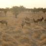 Kuhantilope, Etosha Nationalpark, Namibia.