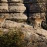 El_Torcal_de_Antequera_-_012_-_Wild_goats