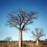 Baobab (Kimberley, West-Autralien)